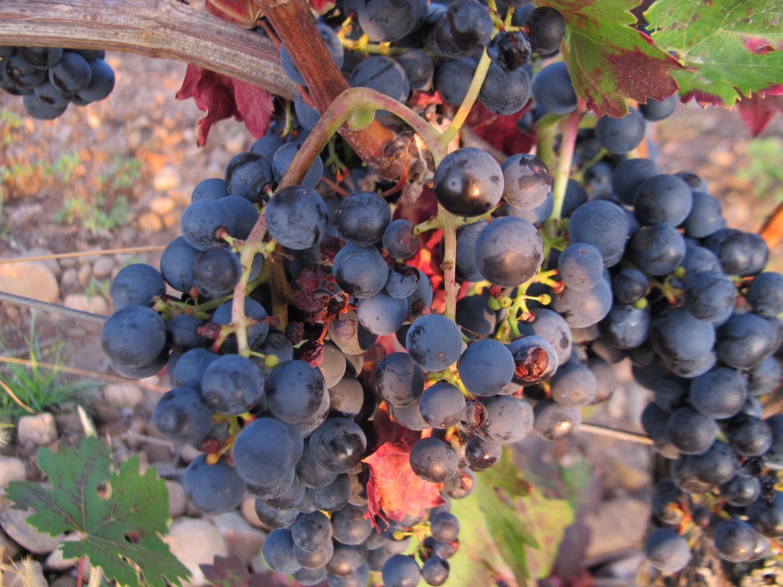 Grapes in the La Rioja region.